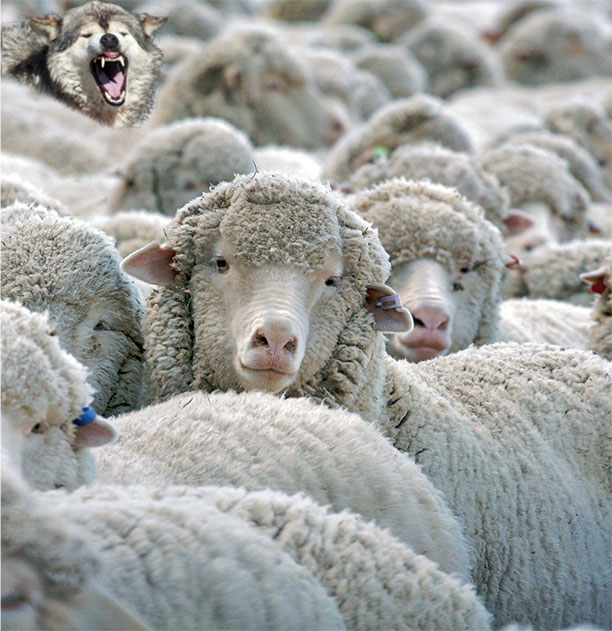 sheep+wolf