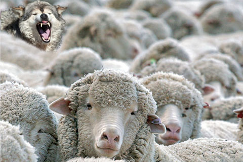 wolf-sheep2