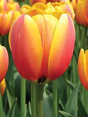 Tulip_WorldPeace21